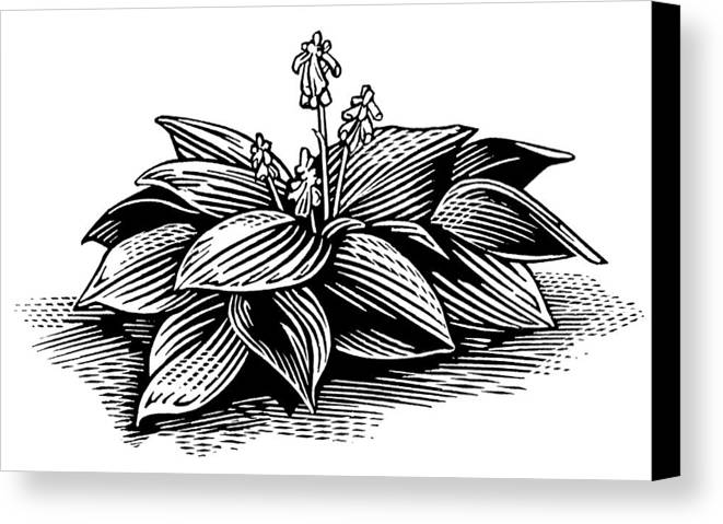 Hosta Sp. Canvas Print featuring the photograph Hosta, Lino Print by Gary Hincks