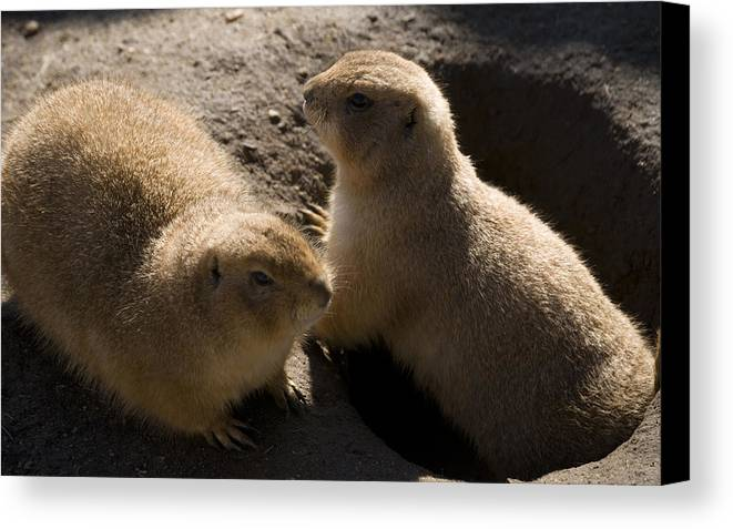 Prairie Dog Canvas Print featuring the photograph Little Dogs On The Prairie by Trish Tritz