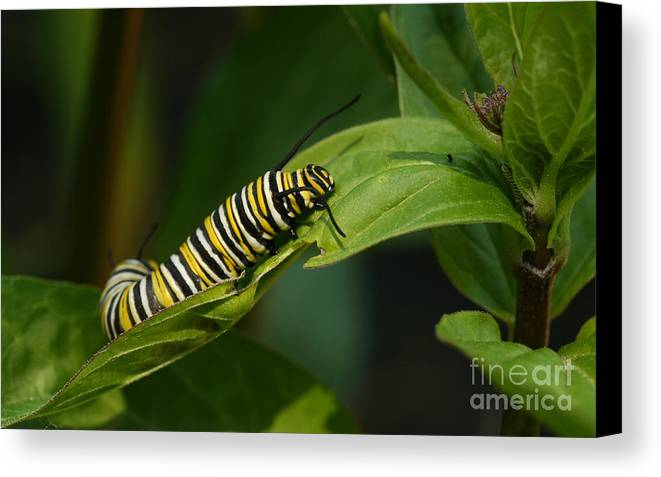 Monarch Canvas Print featuring the photograph Two Caterpillars by Steve Augustin