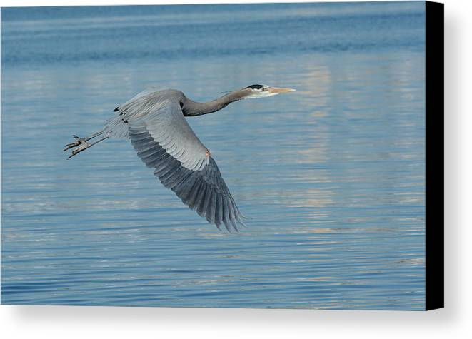 Great Blue Heron Canvas Print featuring the photograph Blue On Blue by Fraida Gutovich