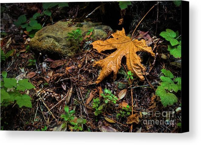 Big Leaf Maple Canvas Print featuring the photograph Autumn's Treasure by Dean Birinyi