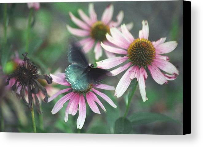 Canvas Print featuring the photograph Dead Flower by Bob Guthridge