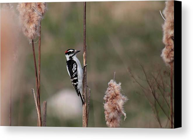 Woodpecker Canvas Print featuring the photograph Downy Woodpecker On Cattails by Linda Crockett