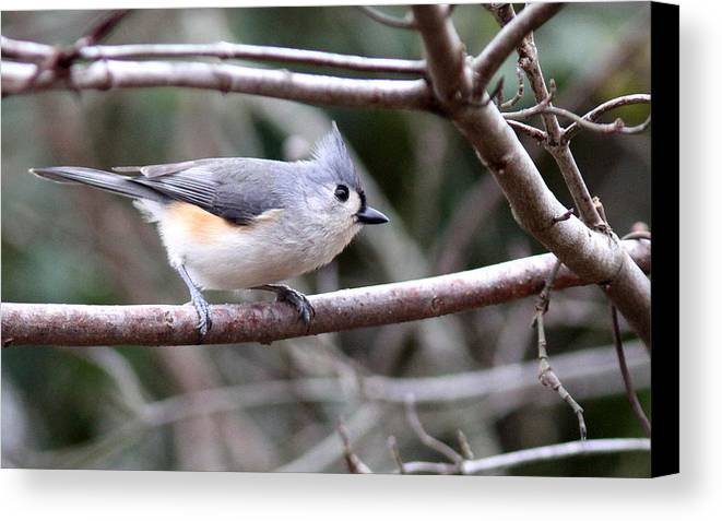 Tufted Titmouse Canvas Print featuring the photograph Img_4672 - Tufted Titmouse by Travis Truelove