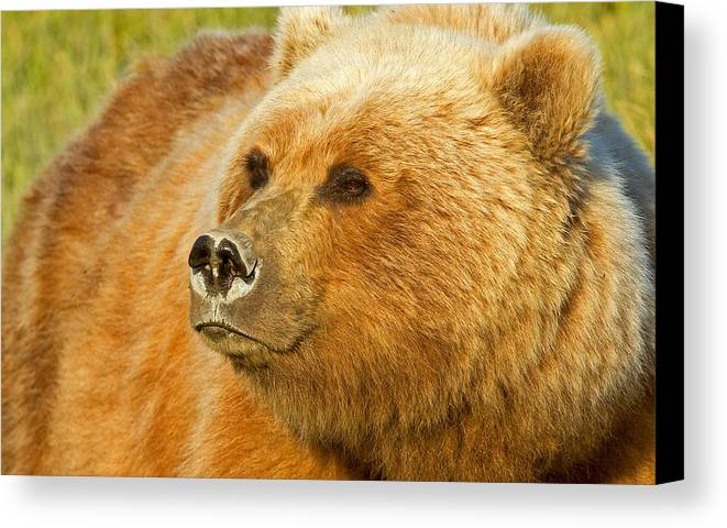 Grizzly Canvas Print featuring the photograph Mama Bear Close Up by Shari Sommerfeld