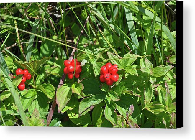 Newfoundland Canvas Print featuring the photograph Partridgeberries by Colleen English