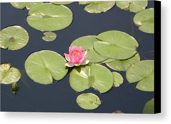 Water Lily Canvas Print featuring the photograph Pink Waterlily by Frank Russell
