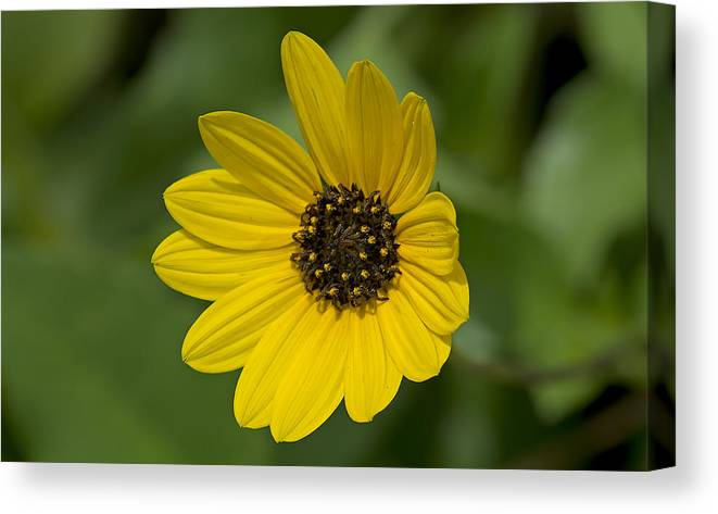 Nature Canvas Print featuring the photograph Delicate Flower by Kenneth Albin