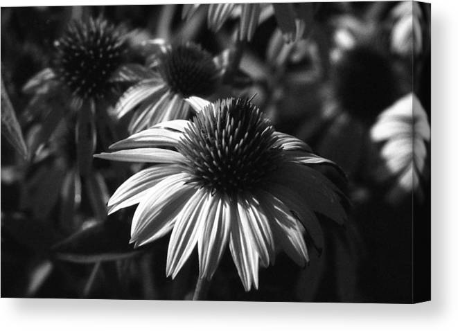 Flower Canvas Print featuring the photograph Infrared - Lucky Star by Pamela Critchlow