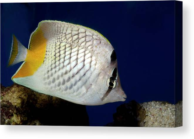 Fish Canvas Print featuring the photograph Pearlscale Or Yellow-tailed Butterflyfish by Nigel Downer