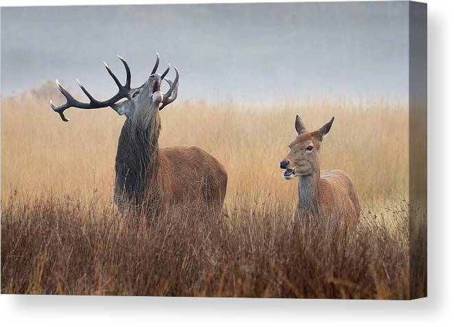 Red Deer Stag And Hind Canvas Print Canvas Art By Tim King Photography