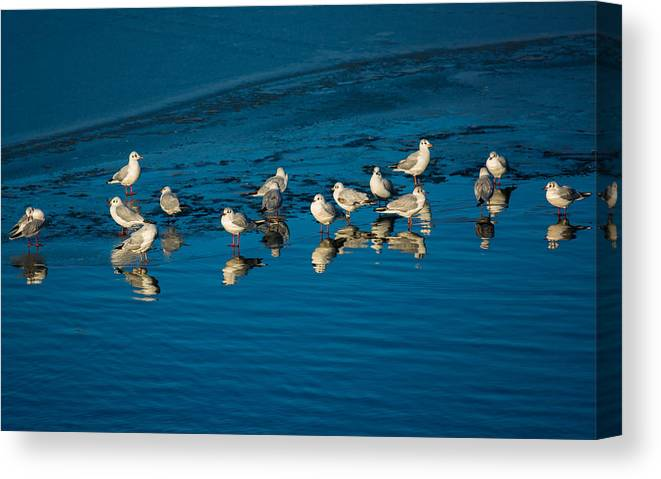 Animal Canvas Print featuring the photograph Seagulls On Frozen Lake by Andreas Berthold