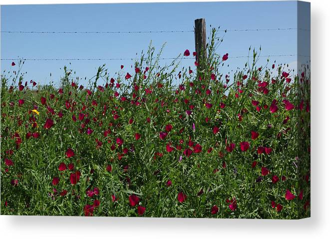 Texas Wildflower Canvas Print featuring the photograph Wine Cups And Barbed Wire by Susan Rovira