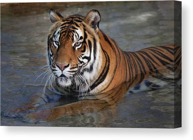Tiger Canvas Print featuring the photograph Bengal Tiger Laying In Water by Bruce Beck
