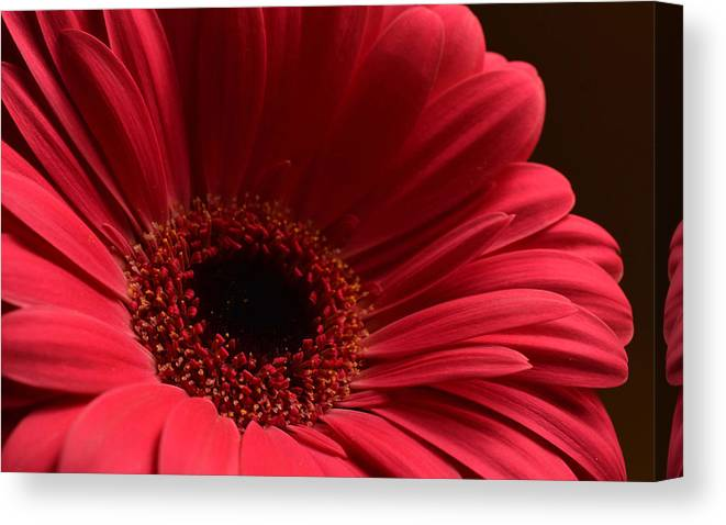 Flowers Canvas Print featuring the photograph Pink Gerbera Daisy by Peterson Photography