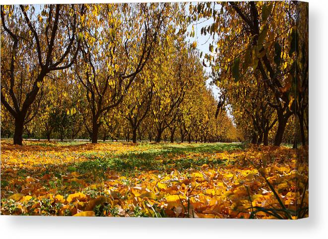 Fall Canvas Print featuring the photograph Ceres Orchard - Fall by Stephen Bonrepos