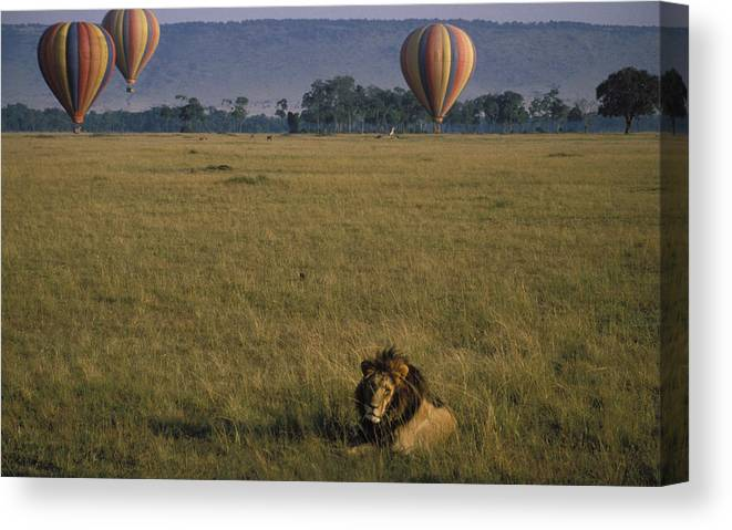 Lion Canvas Print featuring the photograph Lion Ignores Balloons by Carl Purcell