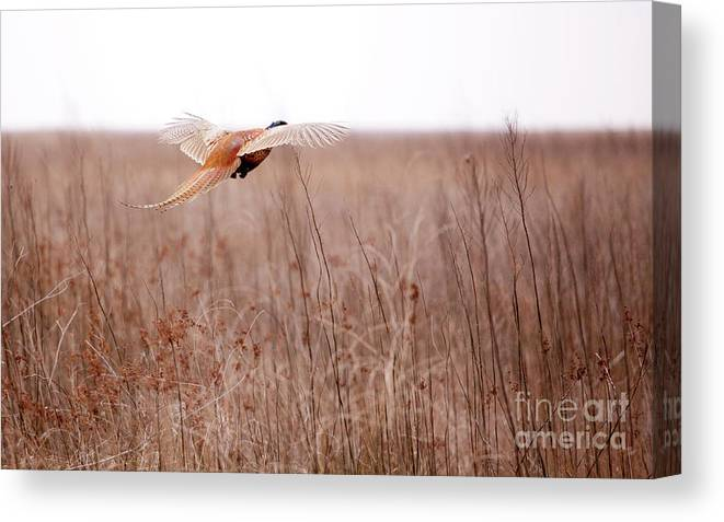 Pheasant Canvas Print featuring the photograph Pheasant In Flight by Gabriela Insuratelu