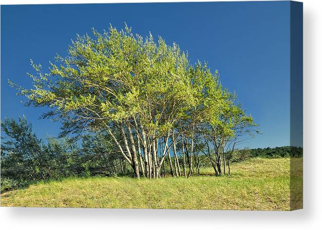 Birch Canvas Print featuring the photograph Stand Of Lake Birch Trees by Brian Mollenkopf