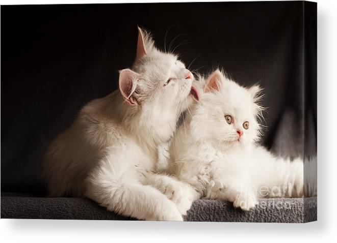 Cleaning Canvas Print featuring the photograph Adorable White Persian Cats, Mother by Dreambig