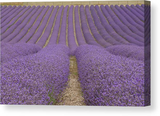 In A Row Canvas Print featuring the photograph Hitchin Lavender by Photo © Stephen Chung