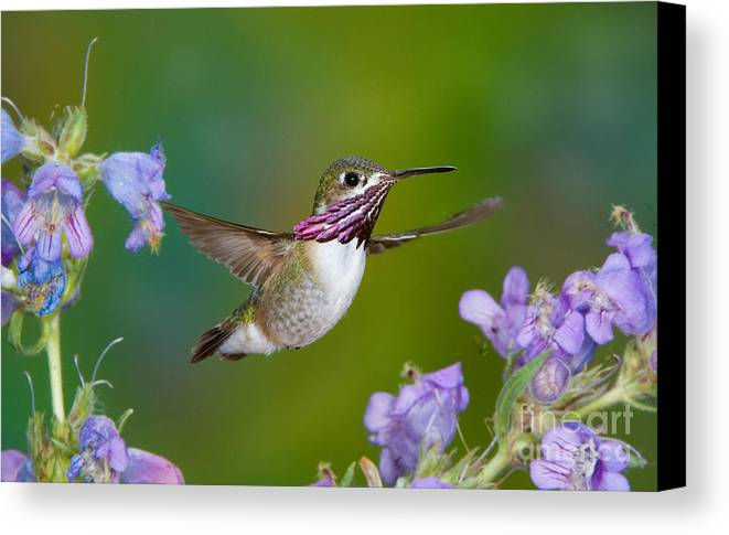 Fauna Canvas Print featuring the photograph Calliope Hummingbird by Anthony Mercieca