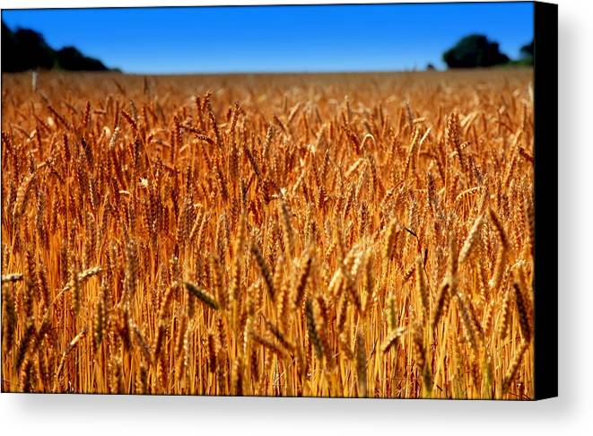 Wheat Canvas Print featuring the photograph Lying In The Rye by Karen Wiles