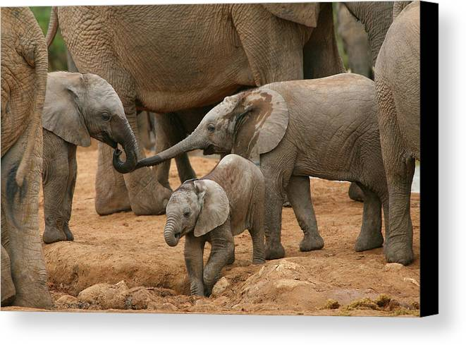 Elephant Canvas Print featuring the photograph Pachyderm Pals by Bruce J Robinson