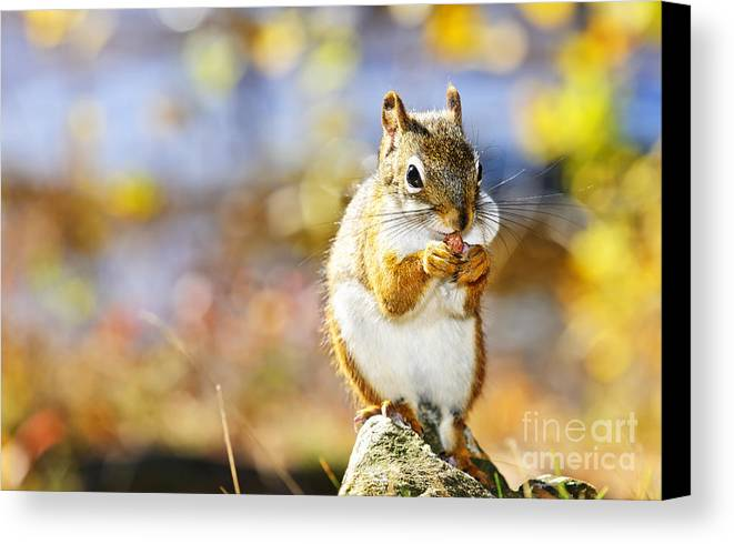 Red Squirrel Canvas Print featuring the photograph Red Squirrel by Elena Elisseeva