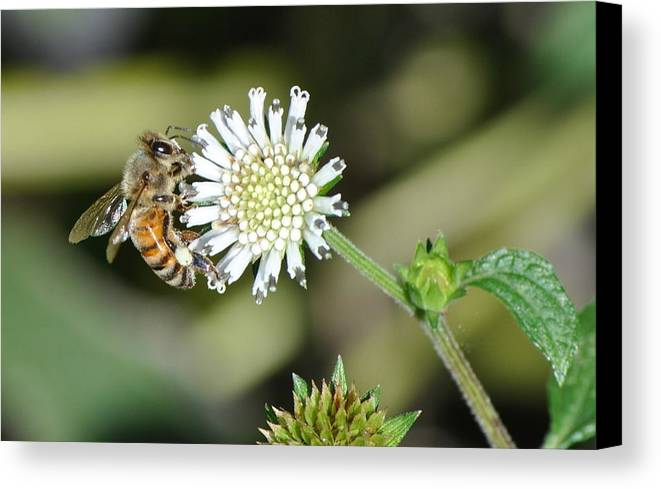Bee On White Clover In Nature Canvas Print featuring the photograph Bee On White Clover by Jodi Terracina