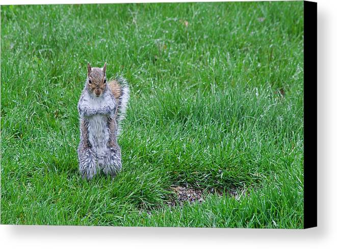 Squirrel Canvas Print featuring the photograph Grey Squirrel In The Rain II by Jeff Galbraith