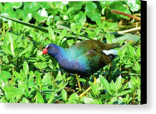Purple Gallinue.gallinue.bird.duck.beak.nature.wildlife Canvas Print featuring the photograph Purple Gallinule by Kathy Gibbons