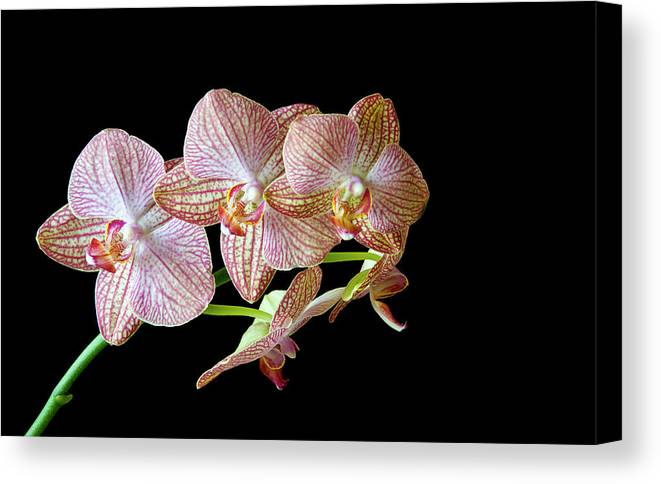 Orchids Canvas Print featuring the photograph Orchid Phalaenopsis Flower by Michalakis Ppalis