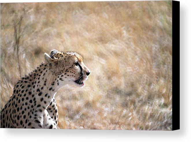 Cheetah Canvas Print featuring the photograph Cheetah by Marcus Best