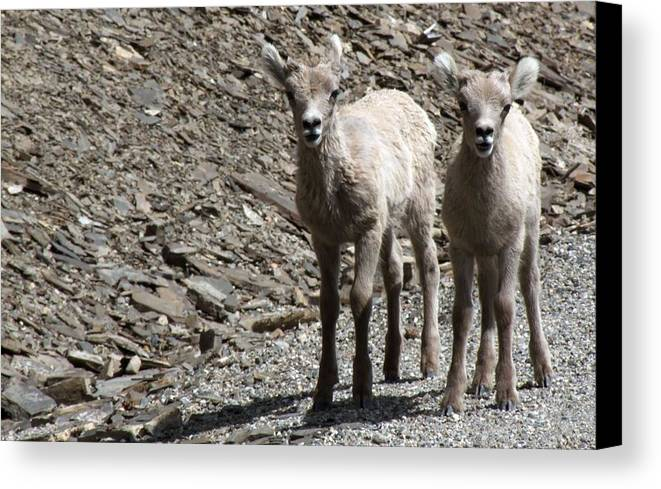 Baby Canvas Print featuring the photograph Couple Of Cuties- Baby Bighorn by Tiffany Vest