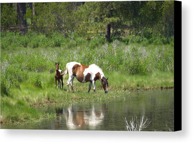 Pinto Canvas Print featuring the painting Curious Foal by Kim