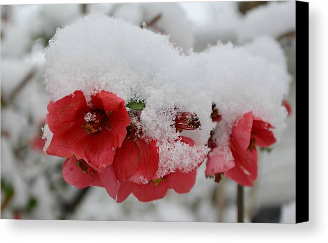 Spring Snow Canvas Print featuring the photograph Frozen Flowers by Ally White