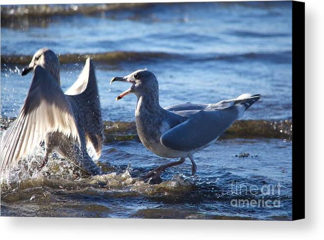 Bird Canvas Print featuring the photograph Gull Fighting by Jacob Stark