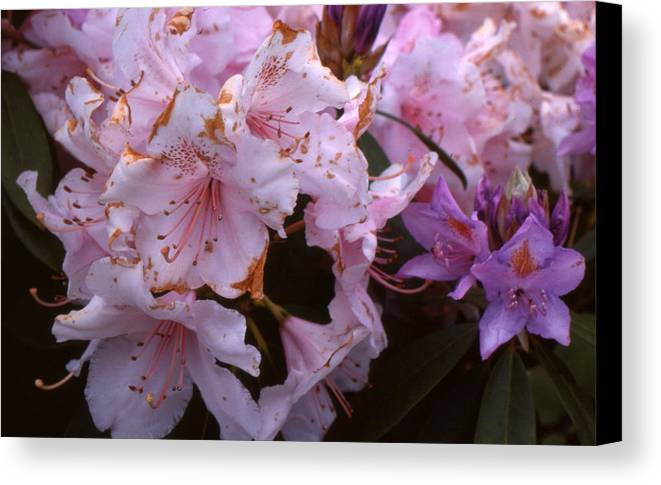Pink Canvas Print featuring the photograph Pink Rhododendrums by Lyle Crump