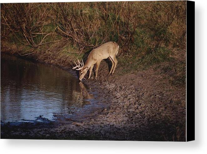 Deer Canvas Print featuring the photograph Private Ranch 5 by Wendell Baggett
