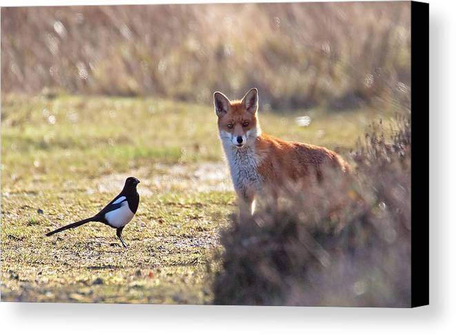 Magpie Canvas Print featuring the photograph Red Fox And Magpie by Bob Kemp