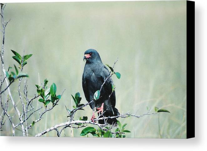 Birds Canvas Print featuring the photograph Snail Kite by Cindy Gregg