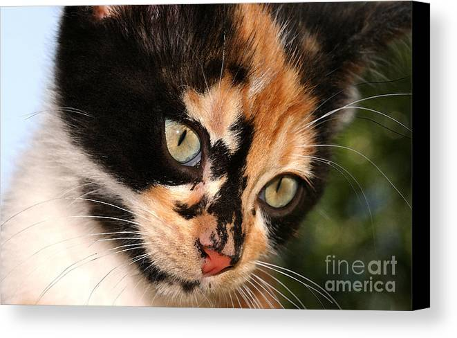 Cat Canvas Print featuring the photograph Stray Kitten by Steve Augustin