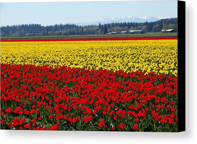 Tulips Canvas Print featuring the photograph Tulips Of The Skagit Valley by Sandra Peery