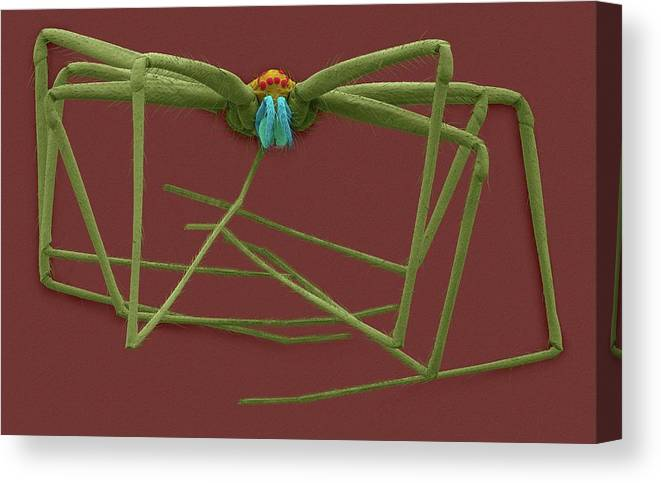 212394c Canvas Print featuring the photograph Cellar Spider (physocyclus Mexicanus) by Dennis Kunkel Microscopy/science Photo Library
