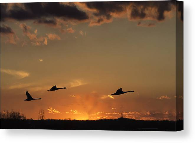 Trumpeter Swans Canvas Print featuring the photograph Flying Into The Sunset by Carolyn Fox