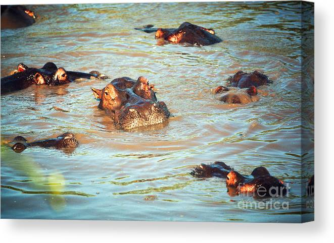 Hippo Canvas Print featuring the photograph Hippopotamus Group In River. Serengeti. Tanzania by Michal Bednarek