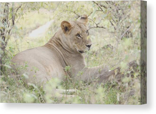 Repose Canvas Print featuring the photograph Lioness Relaxing by Tom Wurl