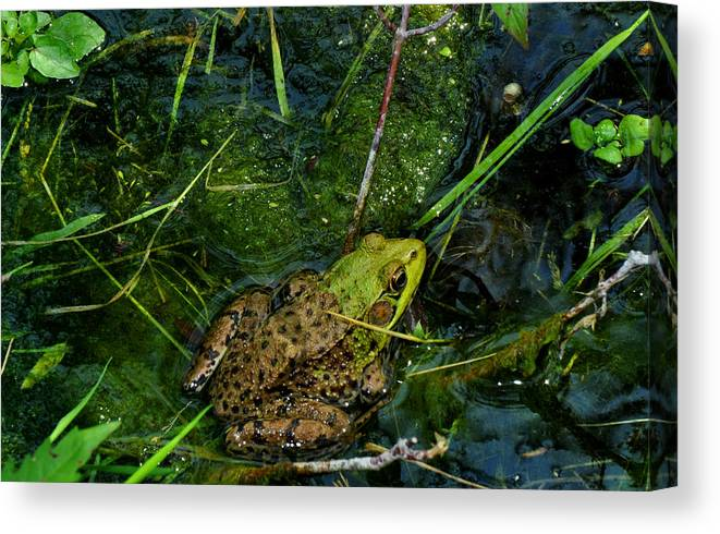 Frog Canvas Print featuring the photograph Spotted Frog by Diane Lent