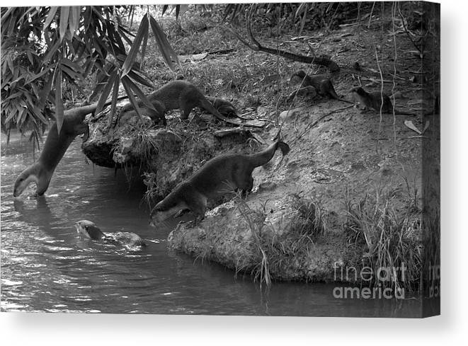 Otters Canvas Print featuring the photograph Otters by Gary Bridger